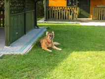 Den tyska herden Dog är på gräset royaltyfria bilder