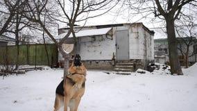 Den tyska herden Dog spelar att hoppa över snö lager videofilmer
