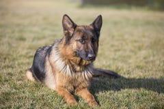 Den tyska herden förföljer Royaltyfria Foton