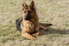 Den tyska herden förföljer royaltyfri fotografi