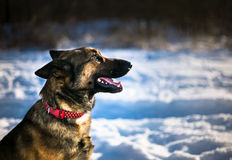 Den tyska herden förföljer Fotografering för Bildbyråer