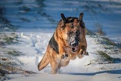 Den tyska herden förföljer i snow Fotografering för Bildbyråer