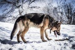 Den tyska herden grundar en pinne Fotografering för Bildbyråer