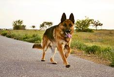 Den tyska herden på en gå i parkera går vid kommando och servar royaltyfri bild