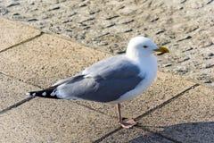 Den tyska seagullen Royaltyfria Foton