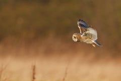 Den tysta jägaren, kortslutning gå i ax owlen Arkivfoton