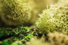 Den underbara världen av mossa i makro arkivfoton