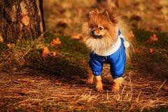 Den underbara valpen blir i den guld- skogen i hösttid Fotografering för Bildbyråer
