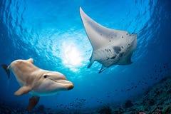 Den undervattens- delfin möter en manta royaltyfri foto