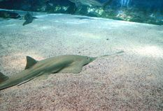 Den undervattens- sikten av marin- liv såg av Sawfish Royaltyfria Bilder
