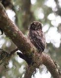 Den unga Aegolius funereusen landade ot en trädfilial Arkivfoton
