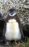 Den unga afrikanska pingvinet (Spheniscusdemersusen) Royaltyfria Bilder