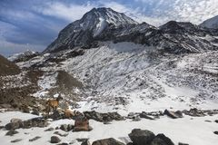 Den unga alpina stenbockbergsfåret på vaggar i ängarna, monteringen Blanc, Frankrike Royaltyfria Foton