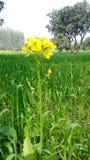 Den unga blomman Arkivfoton