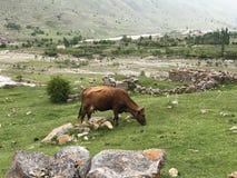 Den unga bruna kon betar i en bergäng bredvid stenar fördärvar av en gammal fästning royaltyfri foto