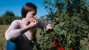 Den unga brunettkvinnan äter bär för den röda vinbäret som river det från buskarna i landet lager videofilmer