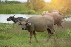 Den unga buffeln stirrar fantastiskt royaltyfria foton