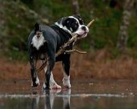 Den unga bulldoggkvinnlign går på en djupfryst skogsjö arkivfoto