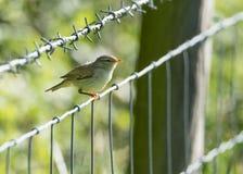 Den unga Chiffchaff fågeln sätta sig på försett med en hulling - trådstaketet Arkivfoto