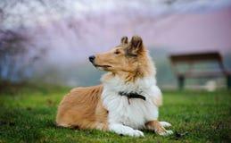 Den unga colliehunden som ner ligger på gräs, parkerar Royaltyfria Foton