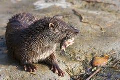 Den unga europeiska otterden äter fisken Arkivfoton