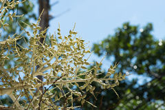 Den unga foxtailen gömma i handflatan frukt på bakgrund för blå himmel Royaltyfria Foton