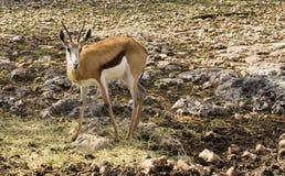 Den unga gazellen lismar i stenigt sätter in Royaltyfria Foton