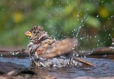 Den unga gråsparven tvättar sig med sprej av vatten arkivfoton