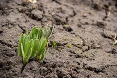 Den unga gröna växten skjuter djupfryst jordning för avbrott överallt på våren royaltyfria bilder