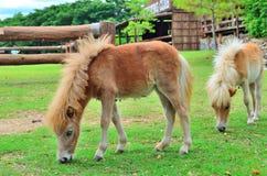 Den unga hästen äter gräs på lantgården Arkivbild