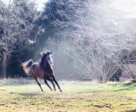 Den unga hästen galopperar på en solig äng på bakgrund av träd Arkivfoto