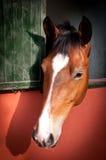 Ung häst Fotografering för Bildbyråer