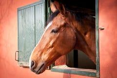 Ung häst Arkivfoton