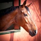 Ung häst Royaltyfria Foton