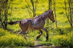 Den unga hästen kör till och med fältet av gula vildblommor Royaltyfria Foton