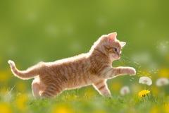 Den unga katten spelar med maskrosen i tillbaka ljus - grön äng Fotografering för Bildbyråer