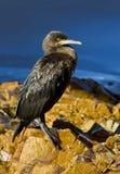 Den unga kormoran på vaggar Royaltyfri Bild