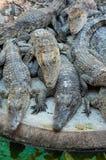 Den unga krokodilen bor i lantgård Fotografering för Bildbyråer
