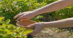 Den unga kvinnan räcker plockningjordgubben i fält till träplattan arkivfilmer