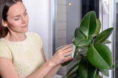 Den unga kvinnan torkar dammet från de gröna sidorna av fikusmicrofiber Omsorg av inomhus växter arkivfoto