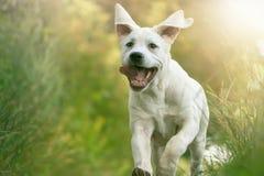 Den unga labradorvalpen kör med hans tunga som ut hänger royaltyfria foton
