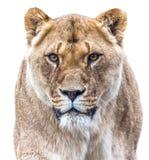 Den unga lejoninnan ser in i kamera Royaltyfria Foton