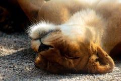 Den unga lejoninnan vilar i solen Arkivfoton