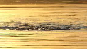 Den unga mannen simmar bröstsim i en skogsjö på solnedgången i slo-mo stock video