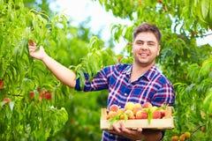 Den unga mannen, trädgårdsmästareplockningpersikor i frukt arbeta i trädgården Arkivbilder