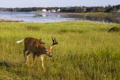 Den unga mannen vit-tailed hjortar som determinedly går i fält arkivbild