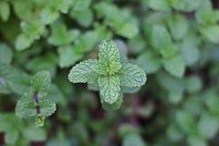 Den unga mintkaramellen lämnar på överkanten av bakgrunden, gruppen av gröna träd som göras suddig arkivbild