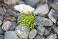 Den unga ormbunken växer från stenar Royaltyfria Foton