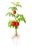 Den unga plantan av ny gräsplan och röda tomater bär frukt och blommor Royaltyfri Fotografi