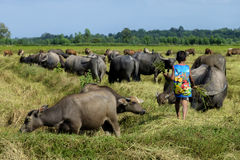 Den unga pojken bär mat för att mata bufflarna i risfältet Arkivfoto